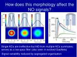 how does this morphology affect the no signals