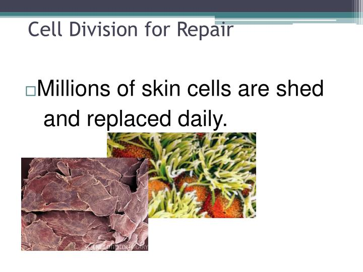 Cell Division for Repair