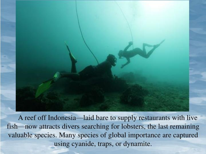 A reef off Indonesia—laid bare to supply restaurants with live fish—now attracts divers searching for lobsters, the last remaining valuable species. Many species of global importance are captured using cyanide, traps, or dynamite.