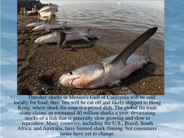Thresher sharks in Mexico's Gulf of California will be sold locally for food; their fins will be cut off and likely shipped to Hong Kong, where shark-fin soup is a prized dish. The global fin trade alone claims an estimated 40 million sharks a year, devastating stocks of a fish that is generally slow growing and slow to reproduce. Many countries, including the U.S., Brazil, South Africa, and Australia, have banned shark-finning, but consumers' tastes have yet to change.