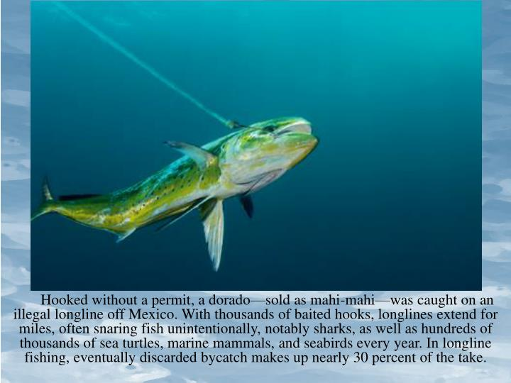 Hooked without a permit, a dorado—sold as mahi-mahi—was caught on an illegal longline off Mexico. With thousands of baited hooks, longlines extend for miles, often snaring fish unintentionally, notably sharks, as well as hundreds of thousands of sea turtles, marine mammals, and seabirds every year. In longline fishing, eventually discarded bycatch makes up nearly 30 percent of the take.
