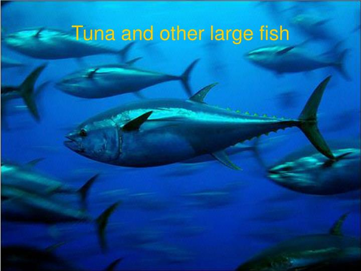 Tuna and other large fish