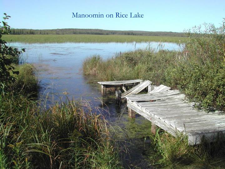 Manoomin on Rice Lake