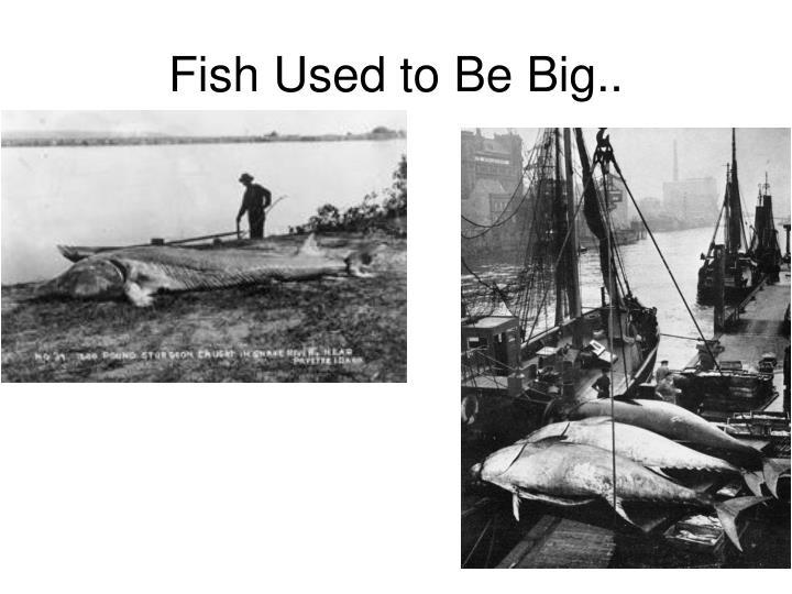 Fish Used to Be Big..