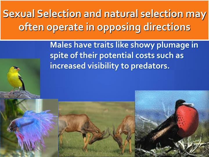 Sexual Selection and natural selection may often operate in opposing directions