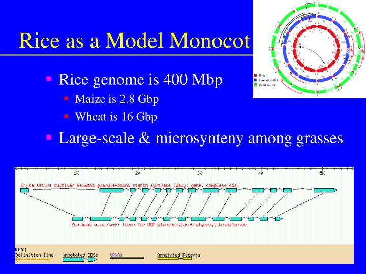 Rice as a Model Monocot