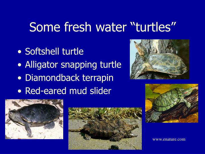 "Some fresh water ""turtles"""
