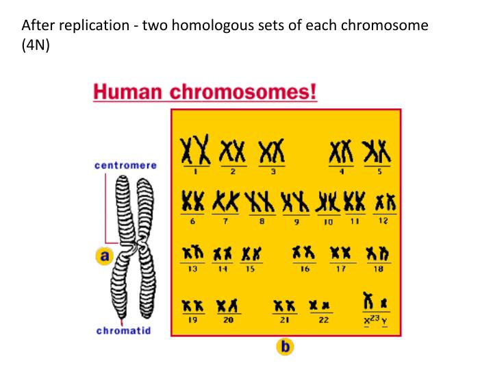 After replication - two homologous sets of each chromosome (4N)