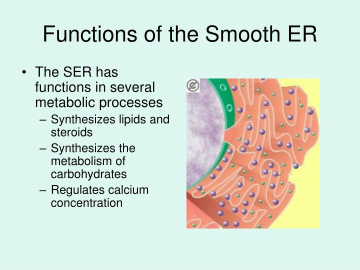 The SER has functions in several metabolic processes