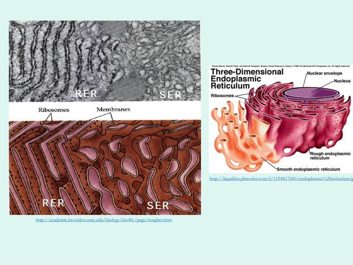 http://liquidbio.pbworks.com/f/1194817600/endoplasmic%20reticulum.jpg
