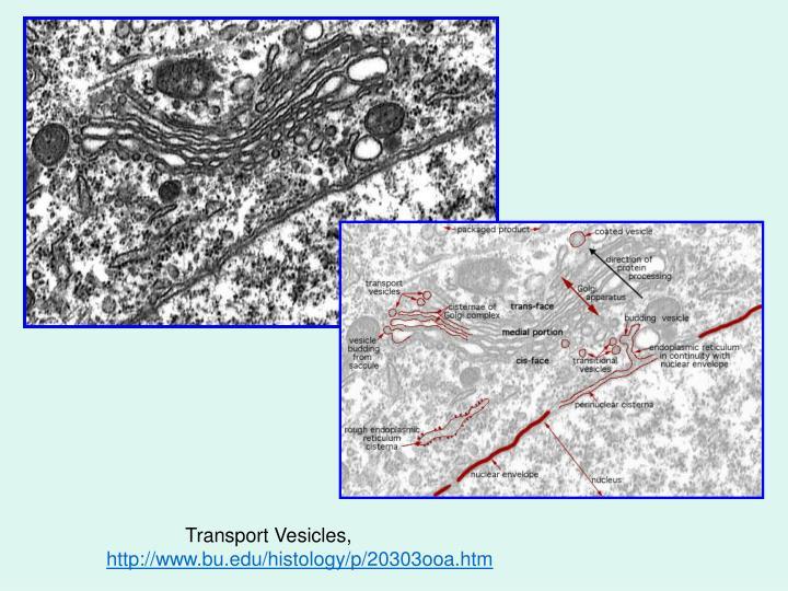 Transport Vesicles,