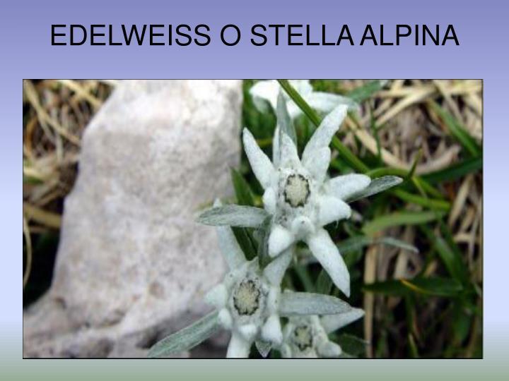 EDELWEISS O STELLA ALPINA
