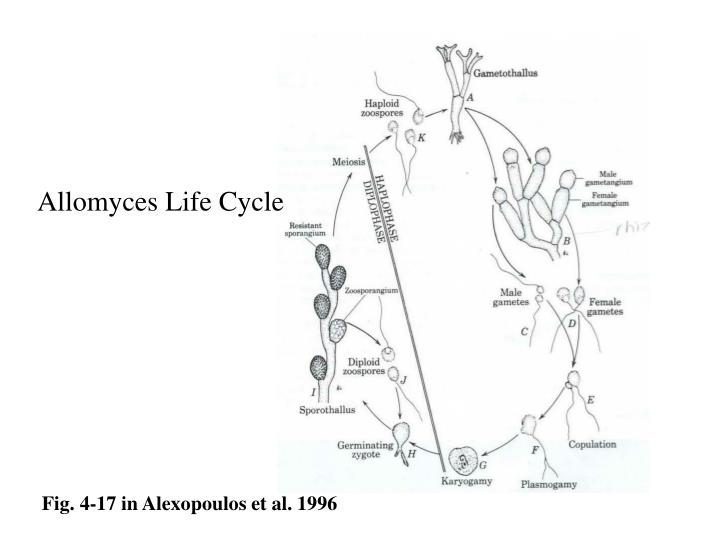 Allomyces Life Cycle