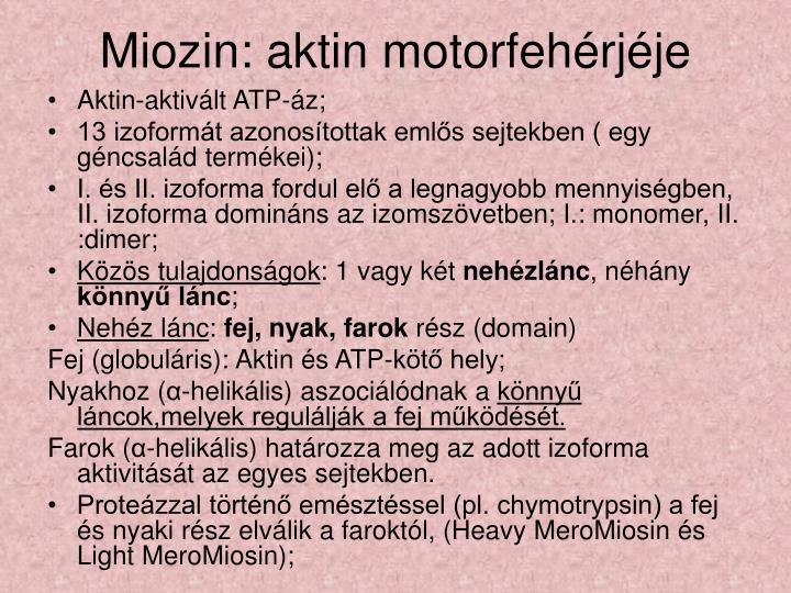Miozin: aktin motorfehérjéje