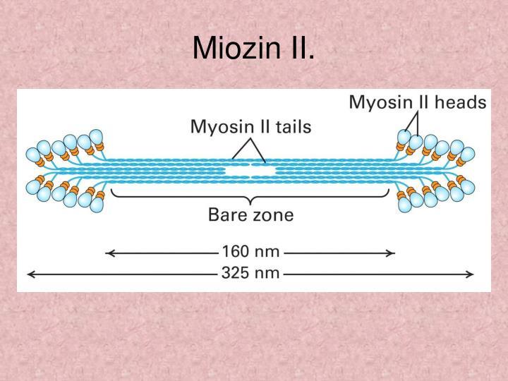 Miozin II.