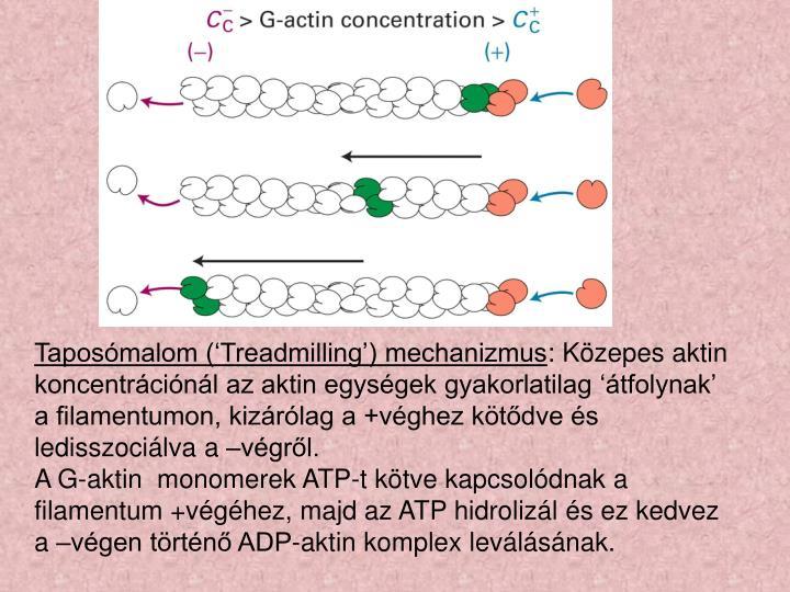 Taposómalom ('Treadmilling') mechanizmus