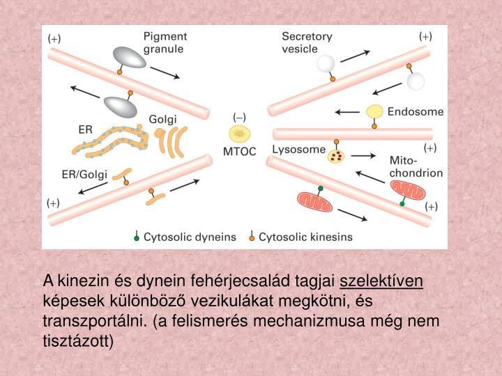 A kinezin és dynein fehérjecsalád tagjai
