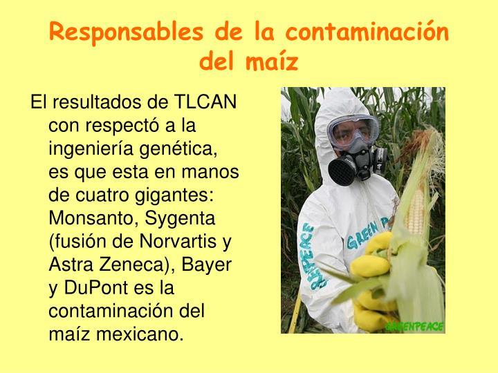 Responsables de la contaminación del maíz