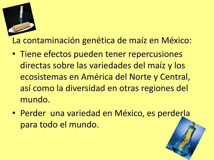 La contaminación genética de maíz en México: