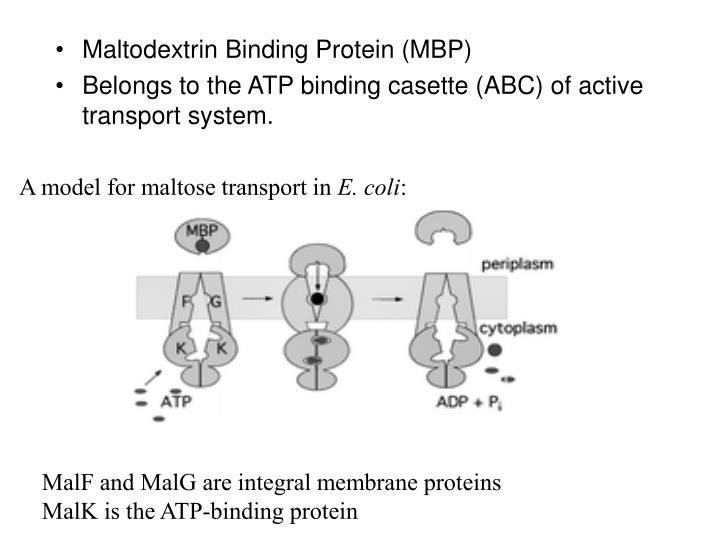 Maltodextrin Binding Protein (MBP)
