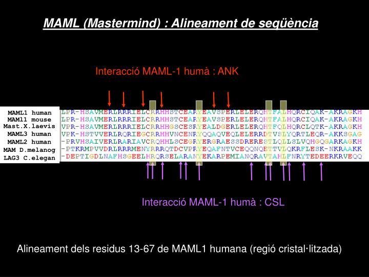 Interacció MAML-1 humà : ANK