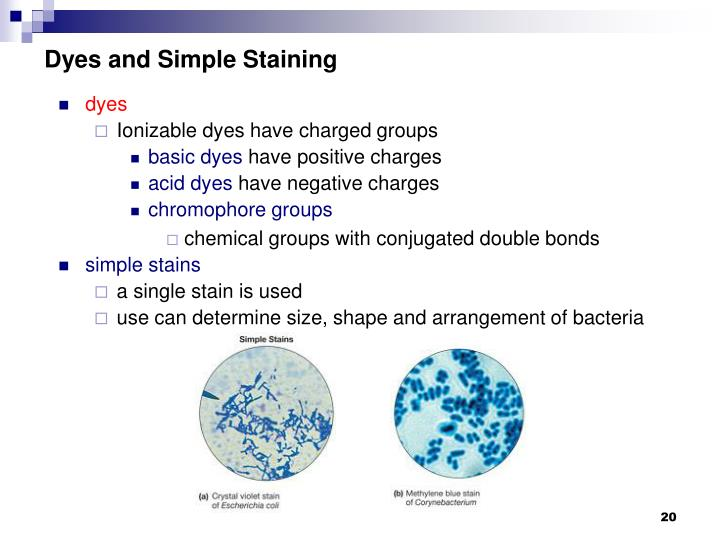 Dyes and Simple Staining
