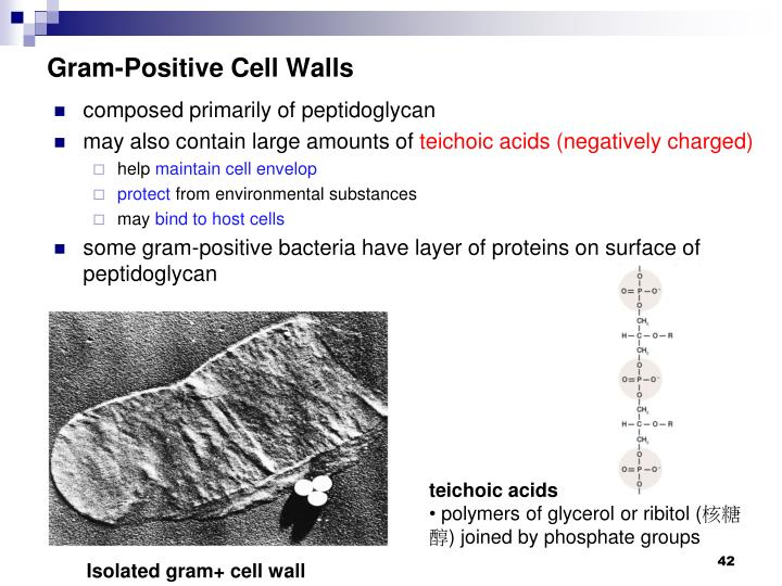 Gram-Positive Cell Walls
