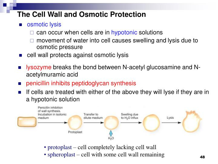 The Cell Wall and Osmotic Protection
