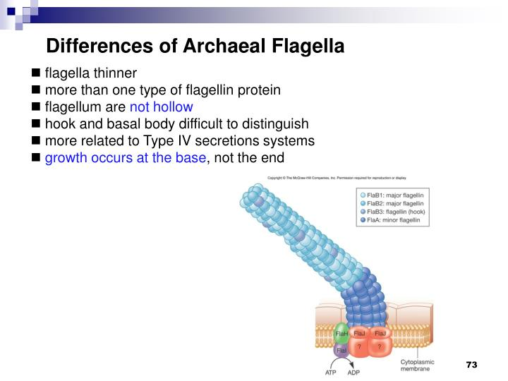 Differences of Archaeal Flagella