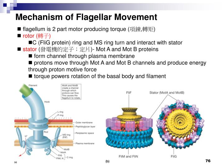 Mechanism of Flagellar Movement
