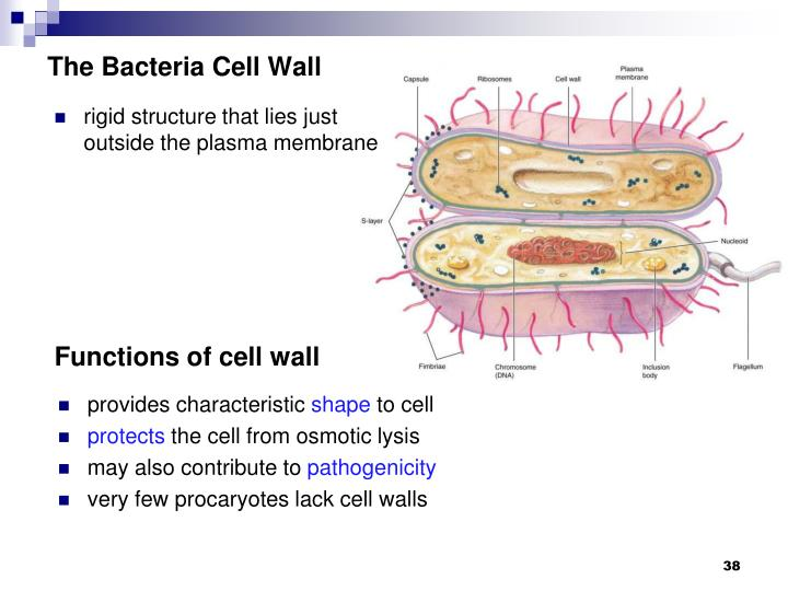 The Bacteria Cell Wall