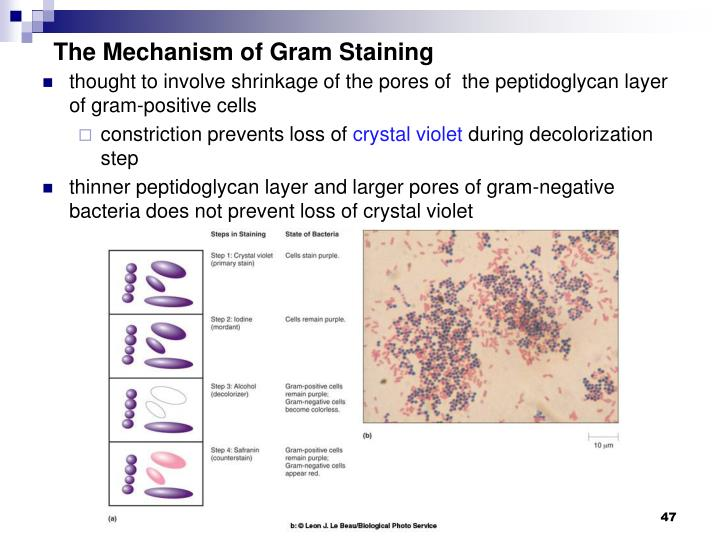 The Mechanism of Gram Staining