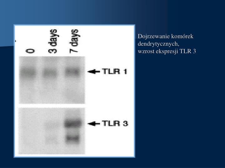 Dojrzewanie komórek dendrytycznych,  wzrost ekspresji TLR 3
