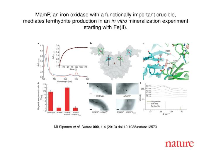 MamP, an iron oxidase with a functionally important crucible,