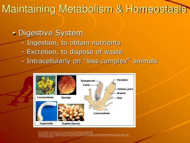 Maintaining Metabolism & Homeostasis