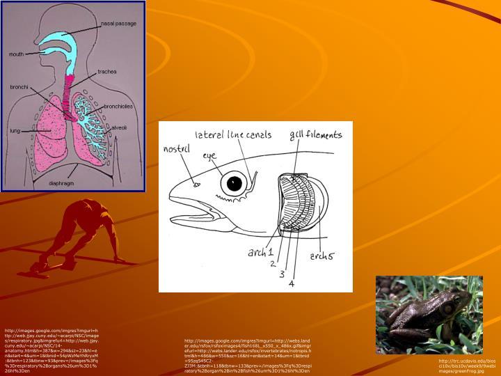 http://images.google.com/imgres?imgurl=http://web.jjay.cuny.edu/~acarpi/NSC/images/respiratory.jpg&imgrefurl=http://web.jjay.cuny.edu/~acarpi/NSC/14-anatomy.htm&h=387&w=294&sz=23&hl=en&start=4&um=1&tbnid=54pWzMeYhRryxM:&tbnh=123&tbnw=93&prev=/images%3Fq%3Drespiratory%2Borgans%26um%3D1%26hl%3Den
