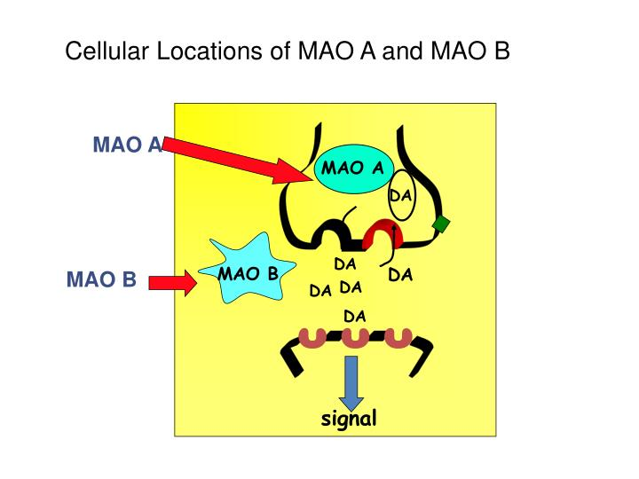 Cellular Locations of MAO A and MAO B