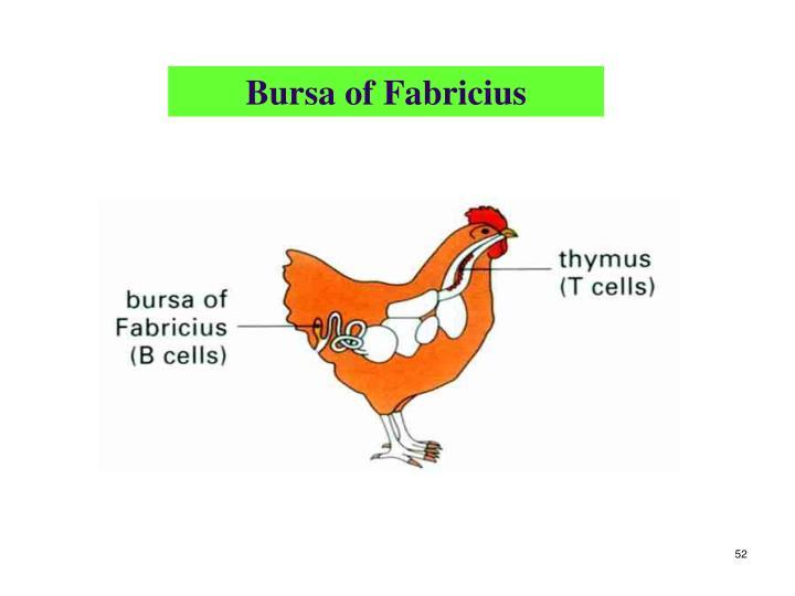 Bursa of Fabricius