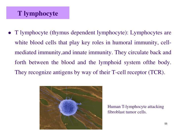T lymphocyte