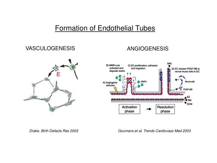 Formation of Endothelial Tubes