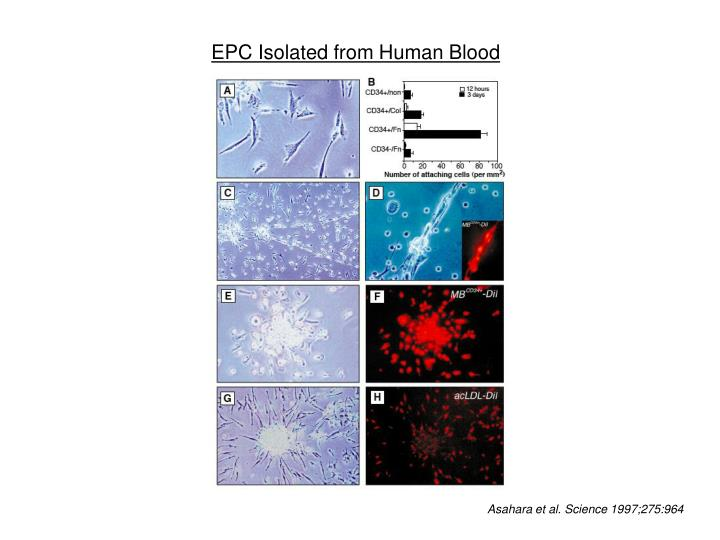 EPC Isolated from Human Blood