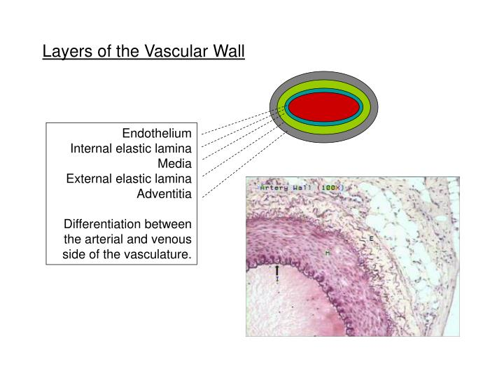 Layers of the Vascular Wall