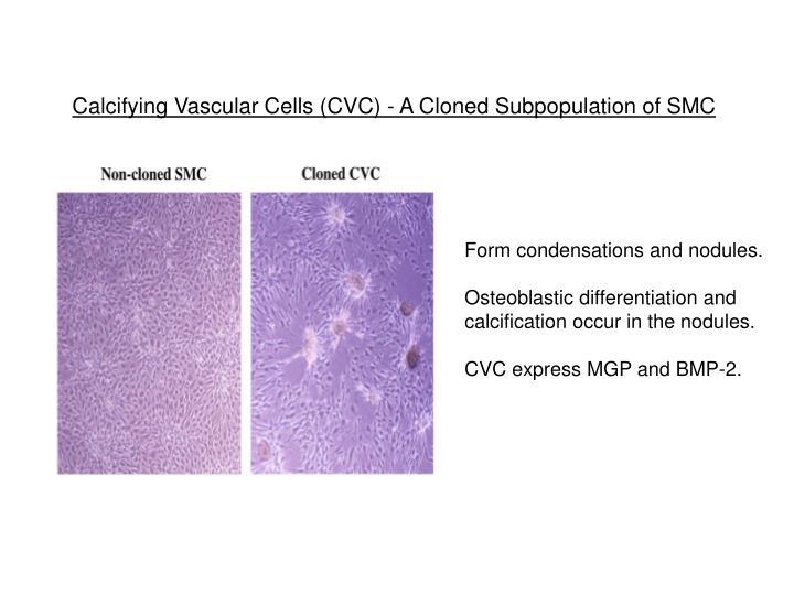 Calcifying Vascular Cells (CVC) - A Cloned Subpopulation of SMC