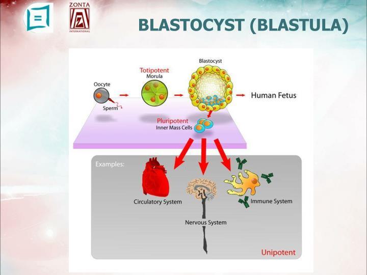 BLASTOCYST (BLASTULA)