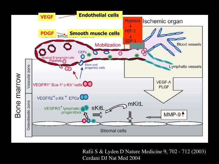 Endothelial cells