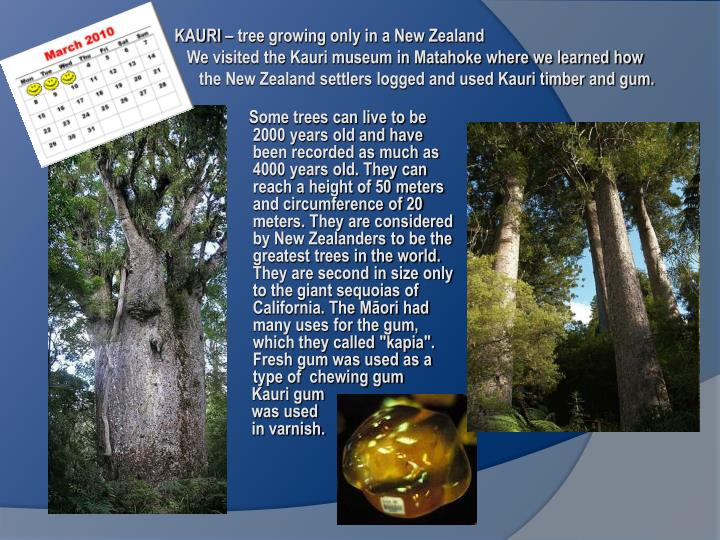 """Some trees can live to be 2000 years old and have been recorded as much as 4000 years old. They can reach a height of 50 meters and circumference of 20 meters. They are considered by New Zealanders to be the greatest trees in the world. They are second in size only to the giant sequoias of California. The Māori had many uses for the gum, which they called """"kapia"""". Fresh gum was used as a type of  chewing gum"""