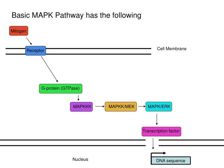 Basic MAPK Pathway has the following