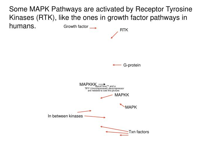 Some MAPK Pathways are activated by Receptor Tyrosine Kinases (RTK), like the ones in growth factor pathways in humans.