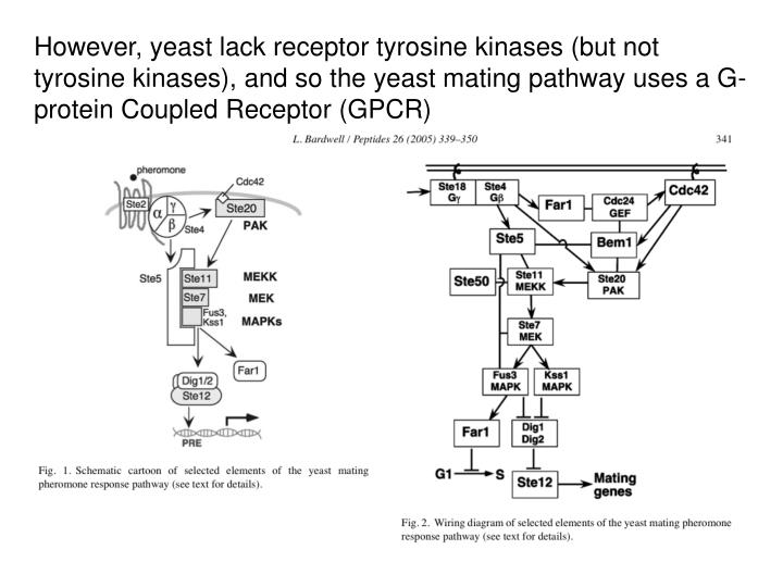 However, yeast lack receptor tyrosine kinases (but not tyrosine kinases), and so the yeast mating pathway uses a G-protein Coupled Receptor (GPCR)