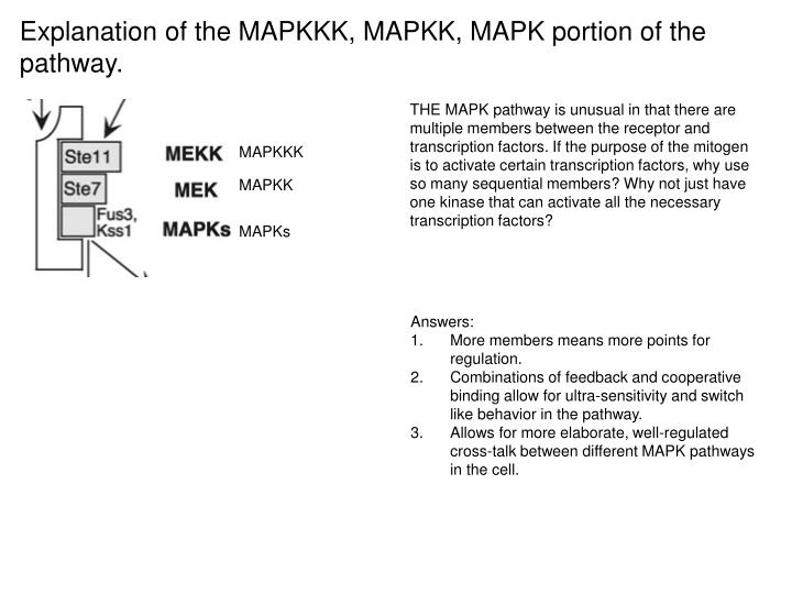 Explanation of the MAPKKK, MAPKK, MAPK portion of the pathway.